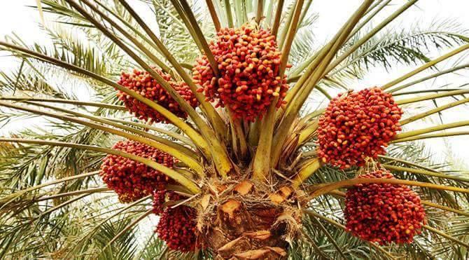 စီးပွားဖြစ်စွန်ပလွန် စိုက်ပျိုးခြင်း | Dr. Abdul Rahman Zafrudin @ Ko Ko Gyi